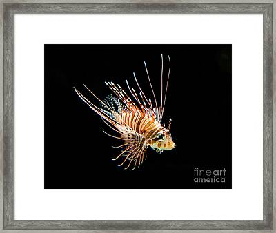 Little Lionfish Framed Print by Jamie Pham