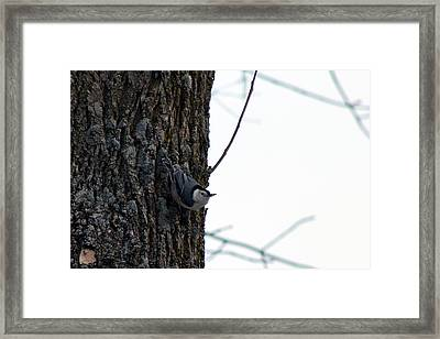 Little Nuthatch Framed Print by Rhonda Humphreys