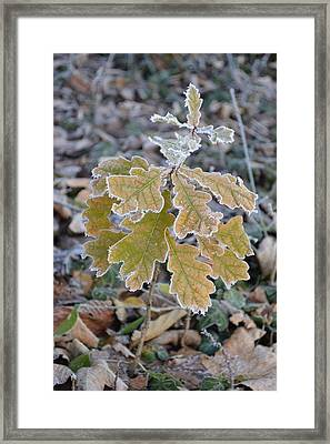 Framed Print featuring the photograph Little Oak by Felicia Tica