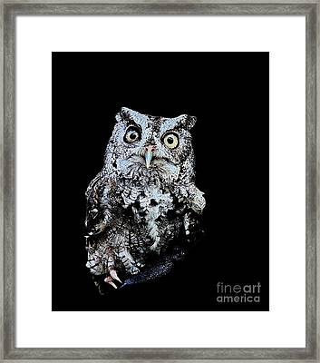 Little Owl Gray With Yellow Eyes Big Framed Print by Wayne Nielsen