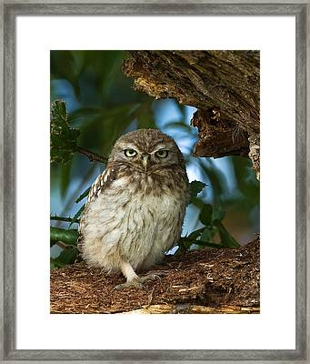 Little Owl Framed Print by Paul Scoullar