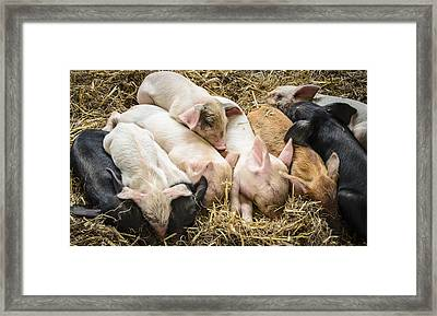 Little Piggies Framed Print by Bradley Clay