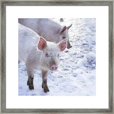 Little Piggies Framed Print by Edward Fielding