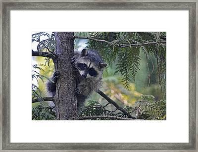 Little Raccoon Framed Print by Maria Angelica Maira