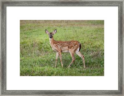 Little Spotted Fawn - White Tailed Deer Framed Print
