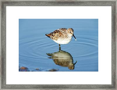 Little Stint Framed Print by Peter Chadwick