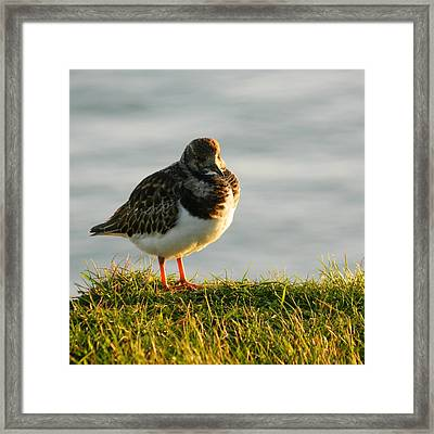 Little Turnstone Framed Print by Sharon Lisa Clarke