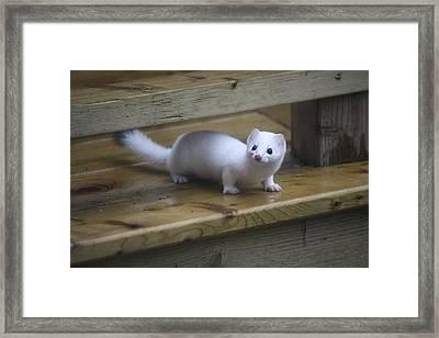 Little White Ferret Framed Print