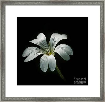 Little White Flower Framed Print
