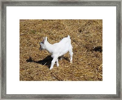 Little White Goat Framed Print by Carolyn Ricks