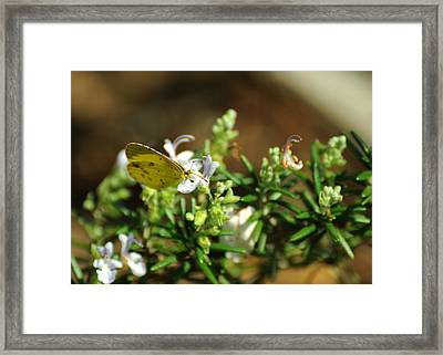 Little Yellow Butterfly On Rosemary Framed Print