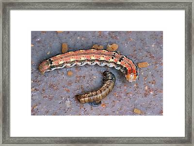 Live And Dead Budworms Framed Print