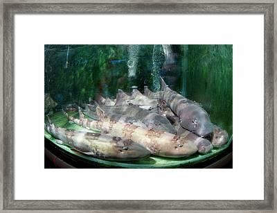 Live Bamboo Sharks For Sale Framed Print