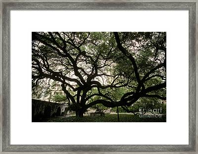 Live Oak At The Alamo, Texas Framed Print by Ron Sanford