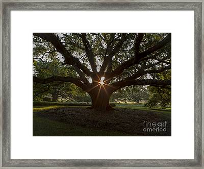 Live Oak With Early Morning Light Framed Print by Kelly Morvant