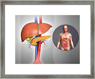 Liver And Pancreas Anatomy Framed Print by Pixologicstudio/science Photo Library