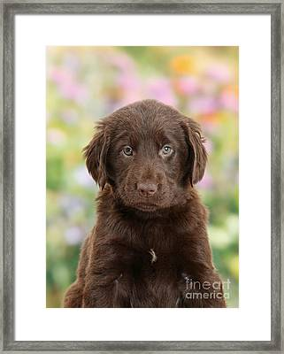 Liver Flat Coated Retriever Puppy Framed Print by Mark Taylor