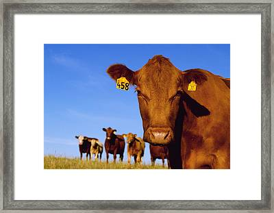 Livestock - Closeup Of A Red Angus Cow Framed Print