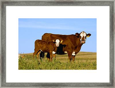 Livestock - Crossbred Cow And Calf Framed Print