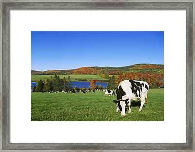 Livestock - Holstein Dairy Cows Grazing Framed Print by Lynn Stone