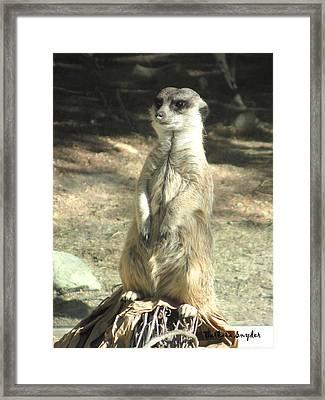 Living Desert Meerkat Framed Print