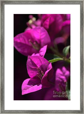 Living With Bougainvillea Framed Print by Joy Watson