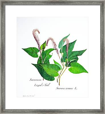 Lizard's-tail Framed Print
