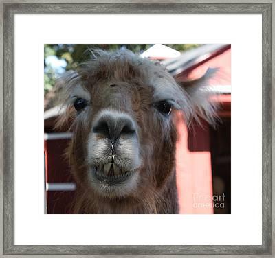 Llama After A Rough Night Framed Print by John Telfer