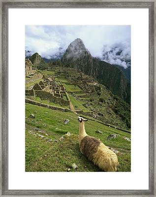 Llama At Machu Picchu Framed Print by Chris Caldicott