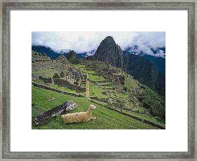 Llama At Machu Picchus Ancient Ruins Framed Print by Chris Caldicott