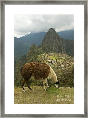 Llama Grazing At Machu Picchu Framed Print by William H. Mullins