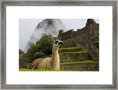 Llama, Machu Picchu, Cusco Region Framed Print by Douglas Peebles