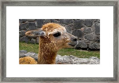 Llama Profile In Guano Ecuador Framed Print