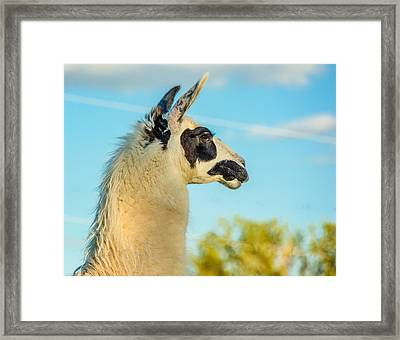 Llama Profile Framed Print by Steve Harrington