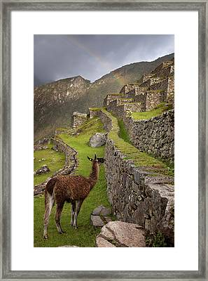 Llama Stands On Agricultural Terraces Framed Print