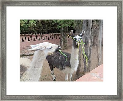 Llamas In Peru Framed Print