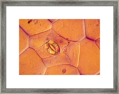 Lm Of A Stoma On A Tradescantia Leaf Framed Print