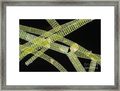 Lm Of The Colonial Diatom Fragillaria Framed Print