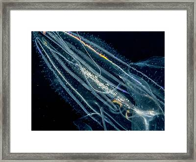 Lobate Ctenophore Or Comb Jelly Framed Print by Thomas Kline
