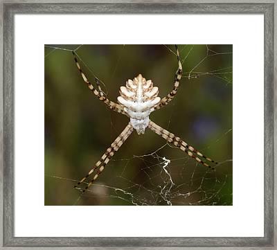 Lobed Argiope Spider Framed Print