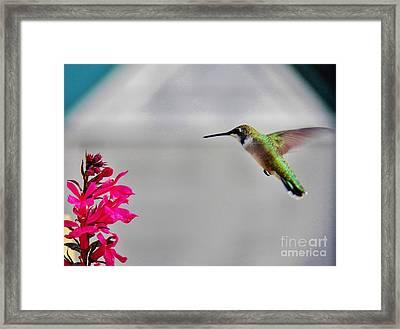 Lobelia And Hummingbird Framed Print by Judy Via-Wolff