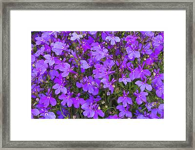 Lobelia 'crystal Palace' Flowers Framed Print by Ann Pickford