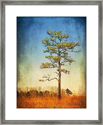 Loblolly Pine Along The Chesapeake Framed Print