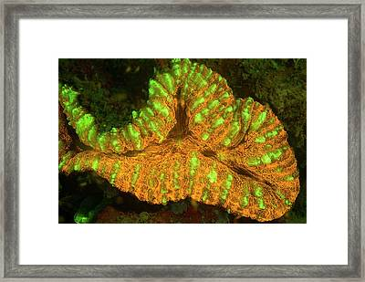 Lobophyllia Coral Fluorescing Framed Print by Louise Murray