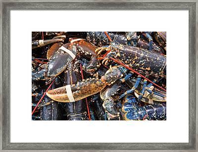 Lobsters Caught Off Craster Framed Print