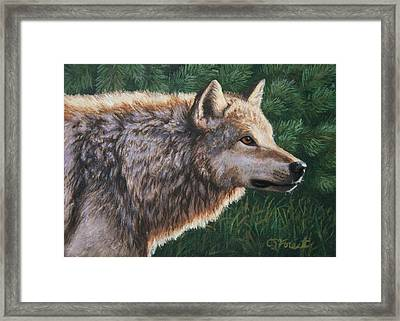 Grey Wolf - Locked Framed Print by Crista Forest