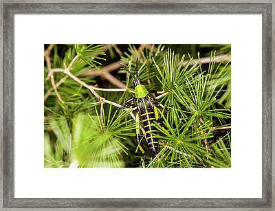 Locust In A Bush Framed Print by Philippe Psaila