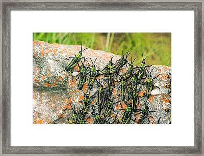 Locusts On A Rock Framed Print by Philippe Psaila