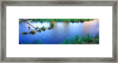 Lodgepole Pine Pinus Contorta Branch Framed Print by Panoramic Images