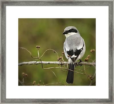 Loggerhead Shrike Framed Print